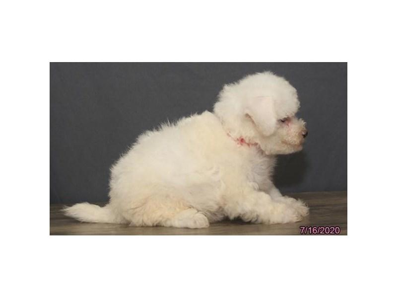Bichon Frise-Female-White-2794298-Petland Carriage Place