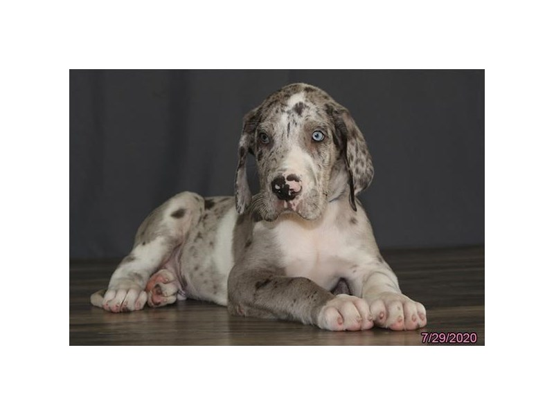 Great Dane-Male-Merlequin-2794305-Petland Carriage Place