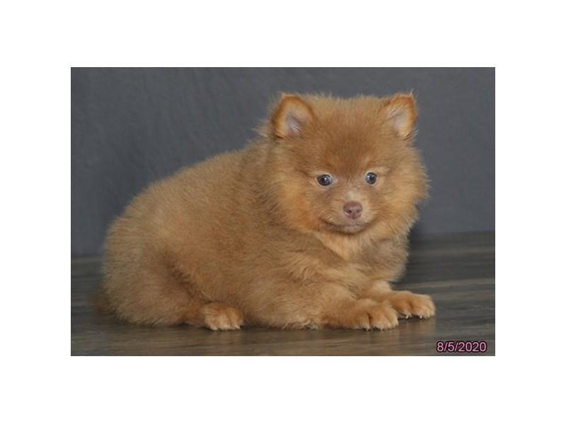 Pomeranian-Male-Red-2801250-Petland Carriage Place