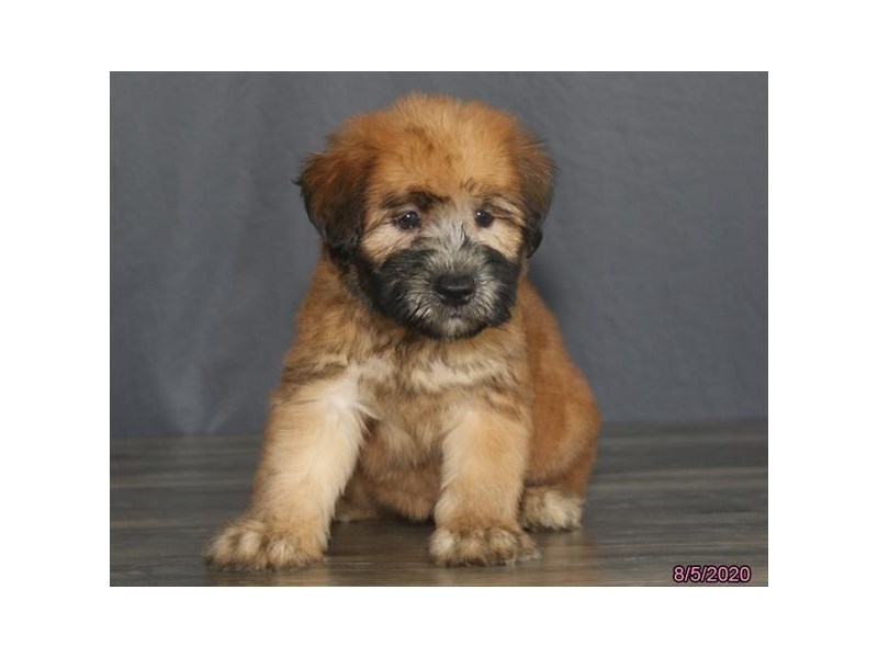 Soft Coated Wheaten Terrier-Male-Wheaten-2801255-Petland Carriage Place