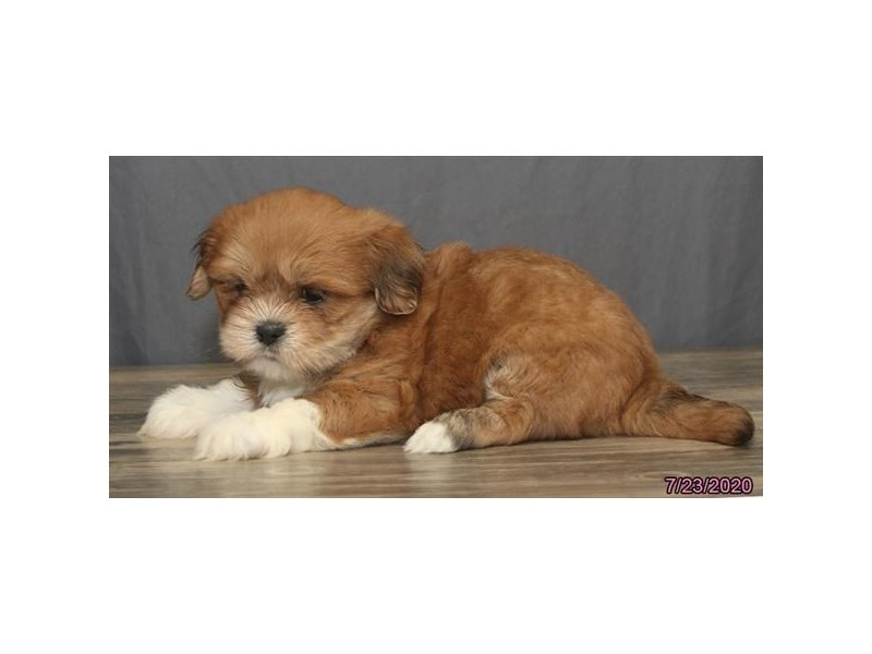 Lhasa Apso-Male-Red-2801257-Petland Carriage Place