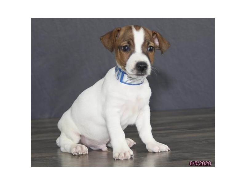 Jack Russell Terrier-Male-Brown / White-2801366-Petland Carriage Place