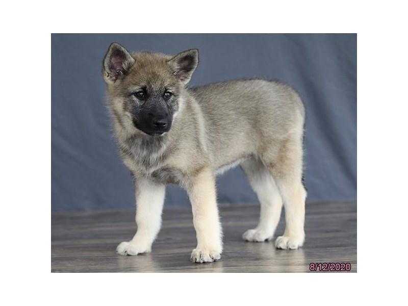 Norwegian Elkhound-Female-Black / Silver-2808429-Petland Carriage Place