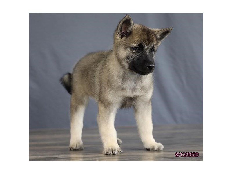 Norwegian Elkhound-Male-Black / Silver-2808430-Petland Carriage Place