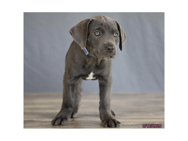 Cane Corso-Female-Blue-2808435-Petland Carriage Place
