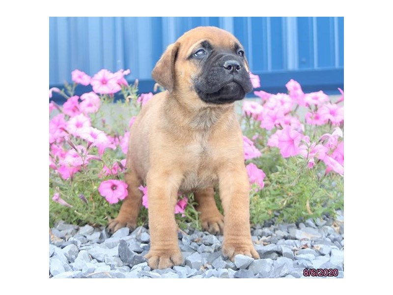 Bullmastiff-Male-Red Fawn-2817043-Petland Carriage Place