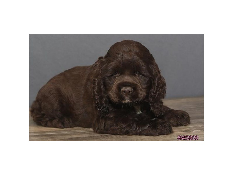 Cocker Spaniel-Female-Chocolate-2817063-Petland Carriage Place