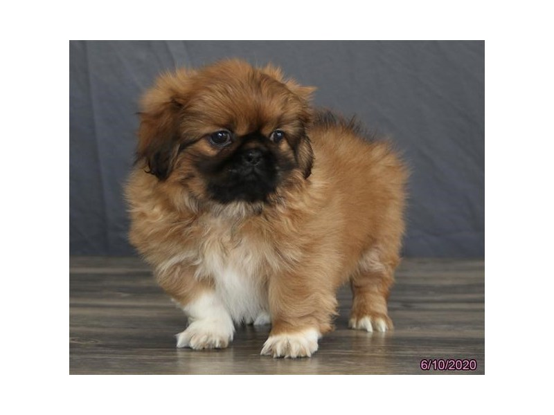 Pekingese-Male-Red Sable-2741812-Petland Carriage Place