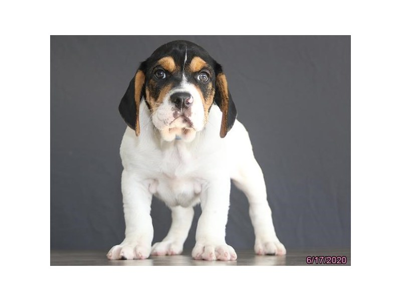 Bulldog/Beagle-Male-Black White / Tan-2748843-Petland Carriage Place