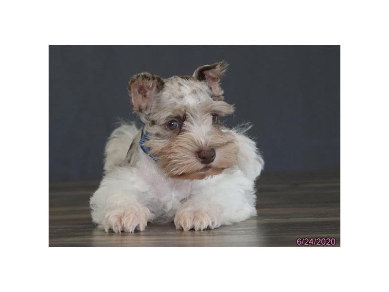 Miniature Schnauzer-Male-Chocolate Merle-2756411-Petland Carriage Place