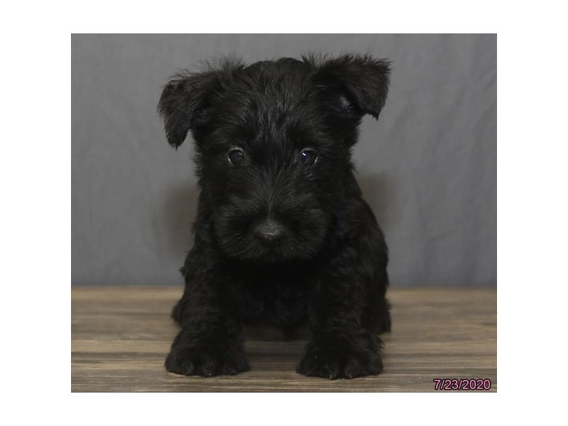 Scottish Terrier-Male-Black-2801258-Petland Carriage Place