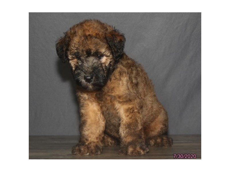 Soft Coated Wheaten Terrier-Female-Wheaten-2808431-Petland Carriage Place