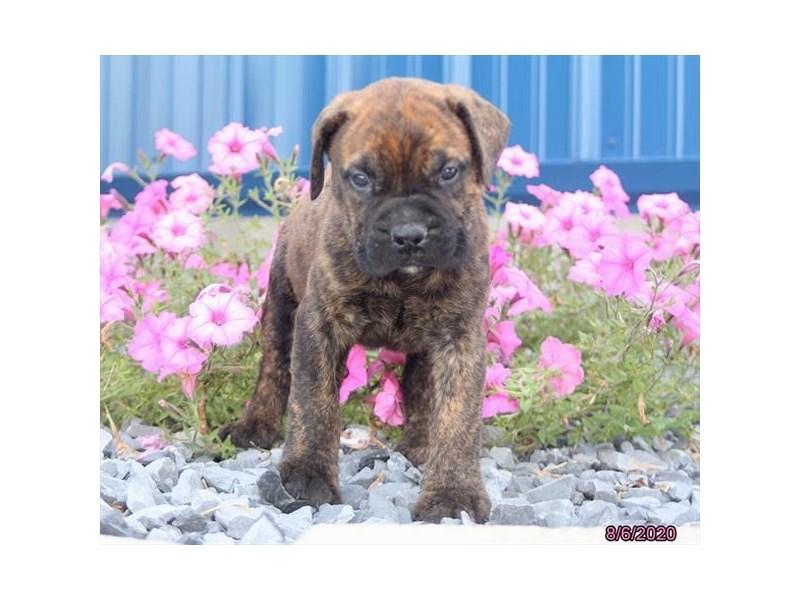 Bullmastiff-Female-Brindle-2817042-Petland Carriage Place