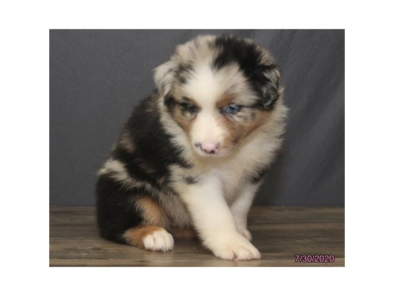 Australian Shepherd-Female-Blue Merle-2817044-Petland Carriage Place