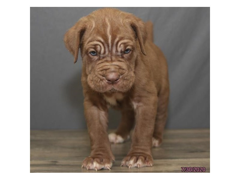 Neapolitan Mastiff-Male-Mahogany-2817045-Petland Carriage Place