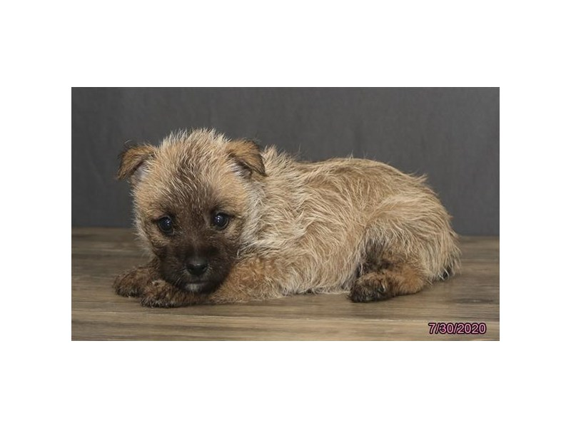 Cairn Terrier-Female-Wheaten-2817047-Petland Carriage Place