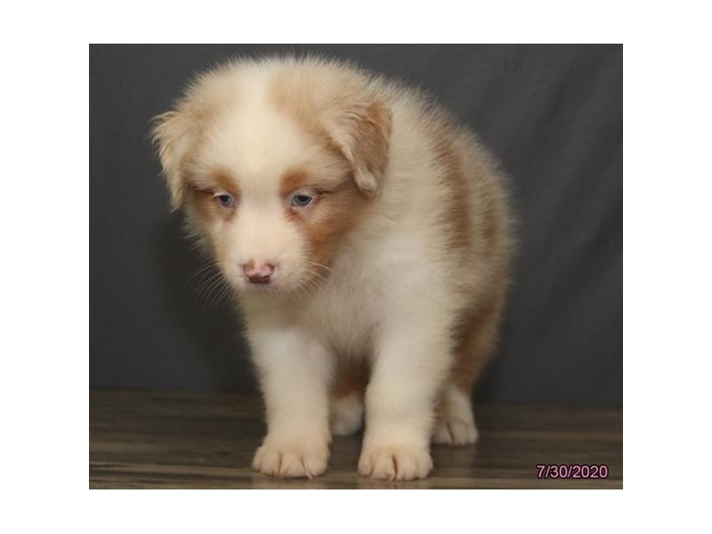 Australian Shepherd-Male-Red Merle-2817069-Petland Carriage Place