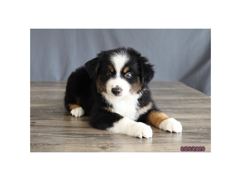 Australian Shepherd-Male-Black Tan / White-2824515-Petland Carriage Place