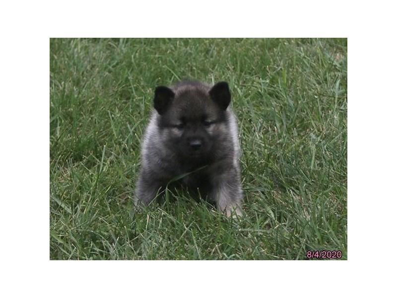 Norwegian Elkhound-Female-Black / Silver-2824519-Petland Carriage Place