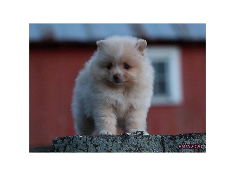 Pomeranian-Male-Cream-2824523-Petland Carriage Place