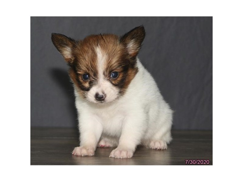Papillon-Female-Red / White-2824536-Petland Carriage Place