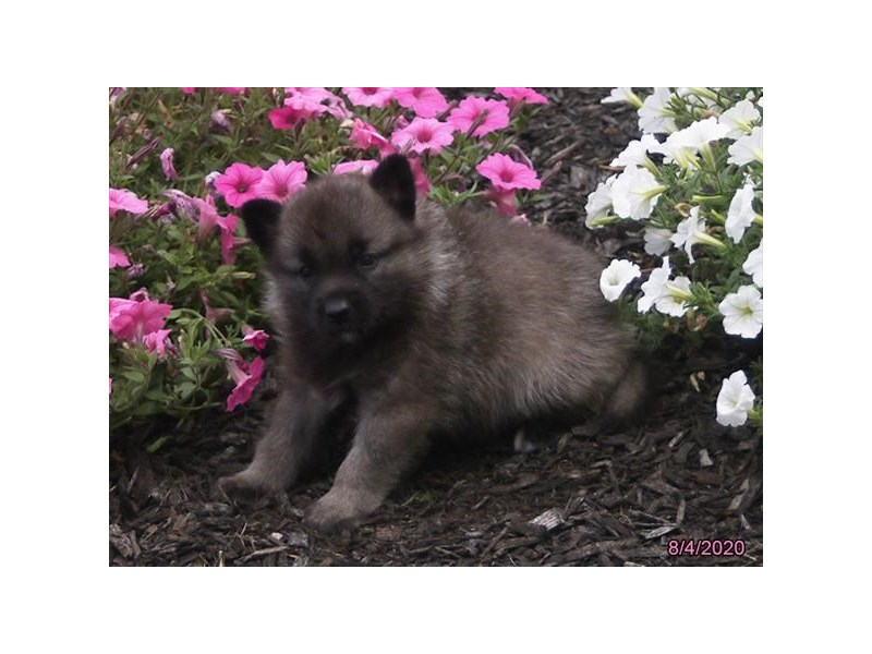 Norwegian Elkhound-Male-Black / Silver-2824590-Petland Carriage Place