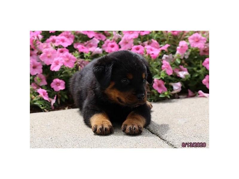 Rottweiler-Male-Black / Tan-2831731-Petland Carriage Place