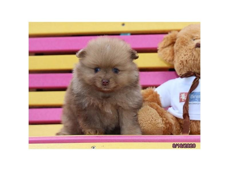 Pomeranian-Male-Chocolate Merle-2839176-Petland Carriage Place