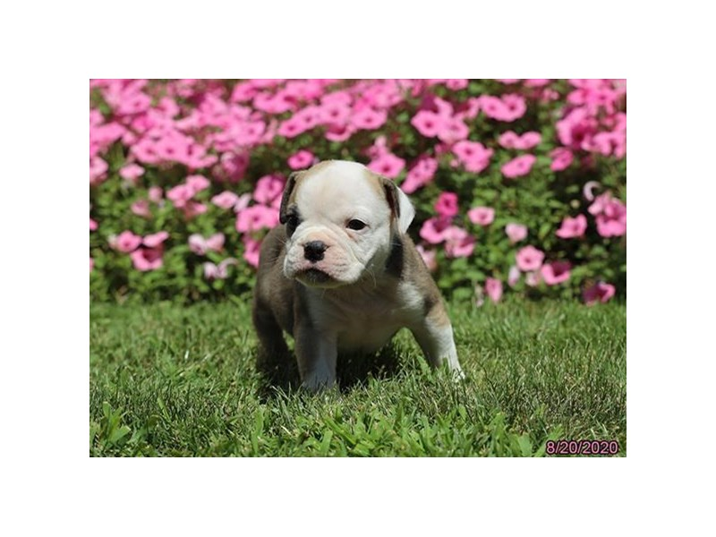 Olde Bulldog-Male-Brown / White-2839177-Petland Carriage Place