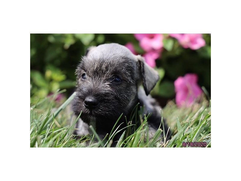 Miniature Schnauzer-Female-Salt / Pepper-2839188-Petland Carriage Place