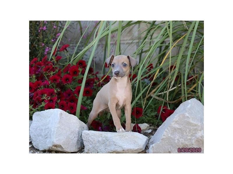 Italian Greyhound-Female-Blue Fawn-2839215-Petland Carriage Place