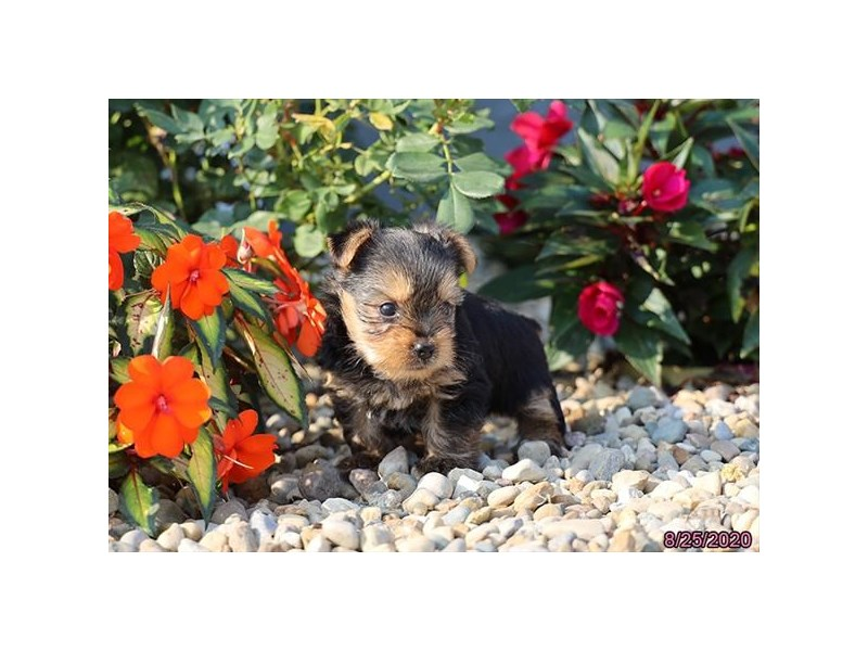 Yorkshire Terrier-Male-Black / Tan-2846770-Petland Carriage Place