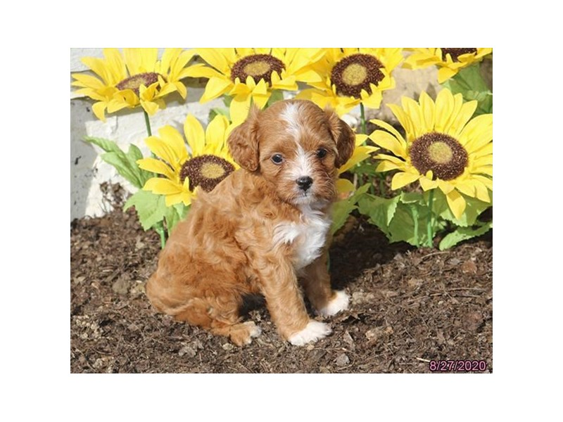 Cavalier King/Poodle-Female-Apricot-2846784-Petland Carriage Place