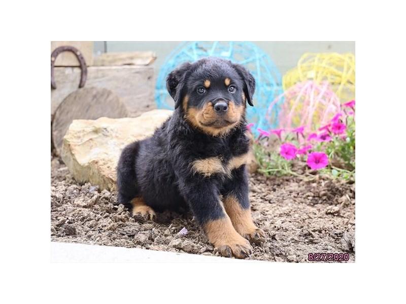 Rottweiler-Male-Black / Tan-2846788-Petland Carriage Place