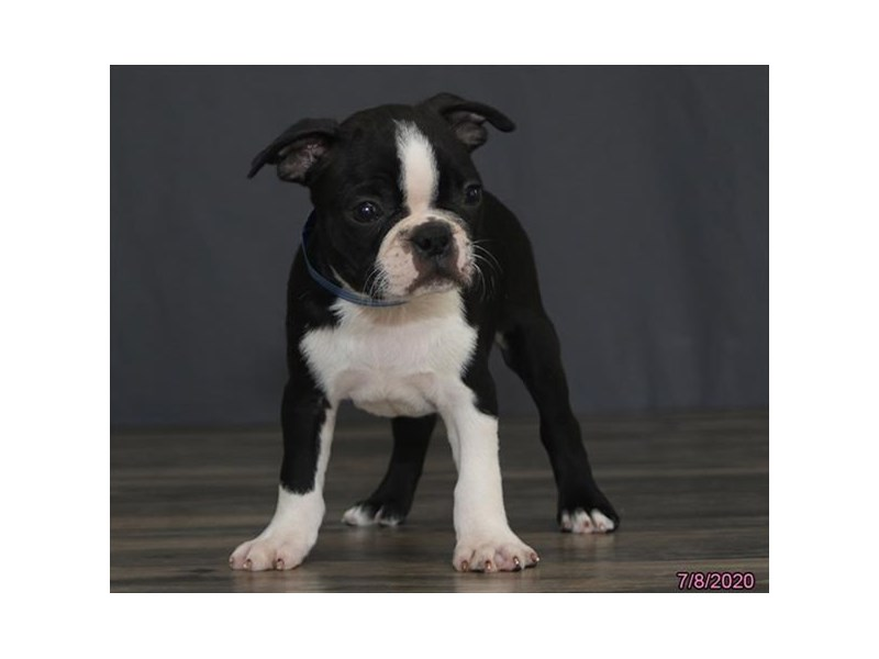 Boston Terrier-Male-Black / White-2772045-Petland Carriage Place