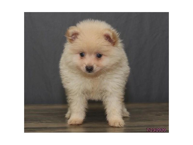 Pomeranian-Male-Cream-2801252-Petland Carriage Place