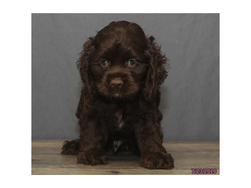 Cocker Spaniel-Male-Chocolate-2801259-Petland Carriage Place