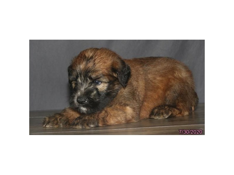 Soft Coated Wheaten Terrier-Male-Wheaten-2817050-Petland Carriage Place