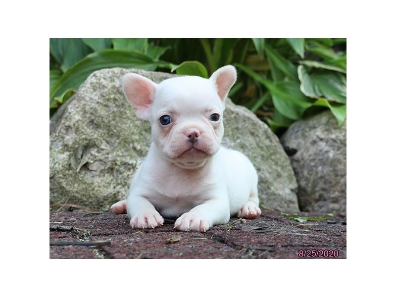 French Bulldog-DOG-Male-Platinum-2846760-Petland Carriage Place