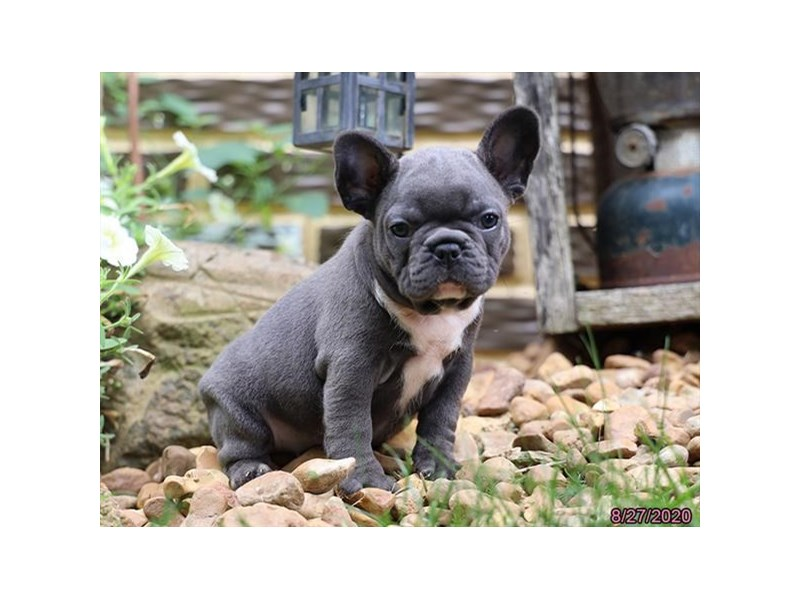 French Bulldog-DOG-Female-Blue / White-2846761-Petland Carriage Place