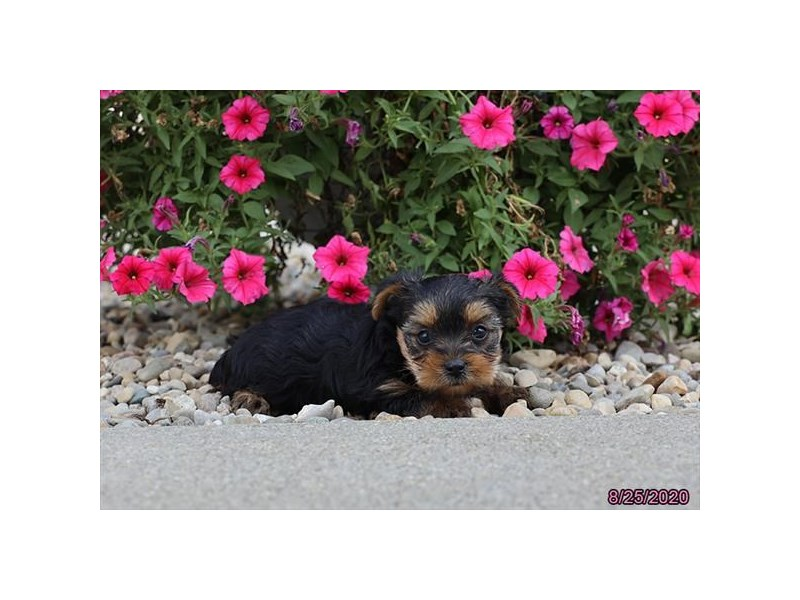 Yorkshire Terrier-Female-Black / Tan-2846769-Petland Carriage Place