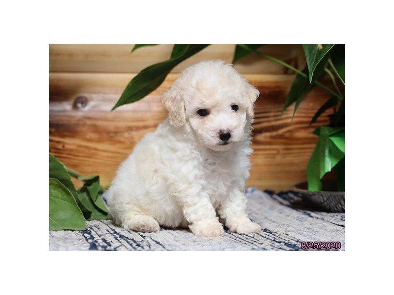 Poodle/Bichon-Female-White / Cream-2846774-Petland Carriage Place