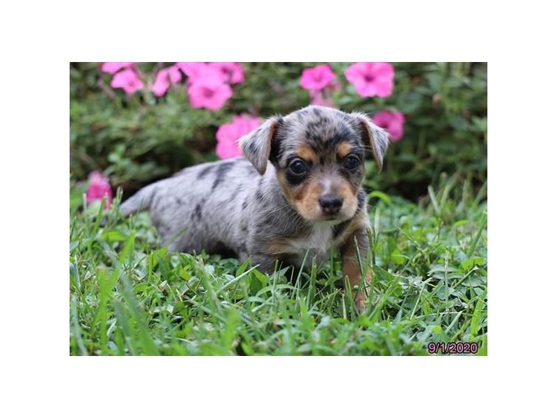 Yorkie/Chihuahua-Male-Blue-2854134-Petland Carriage Place