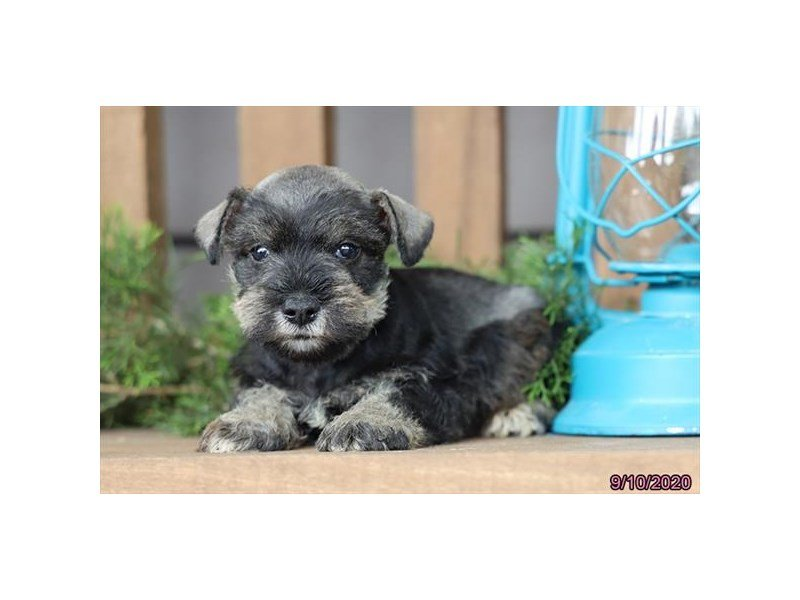 Miniature Schnauzer-Male-Salt / Pepper-2861416-Petland Carriage Place