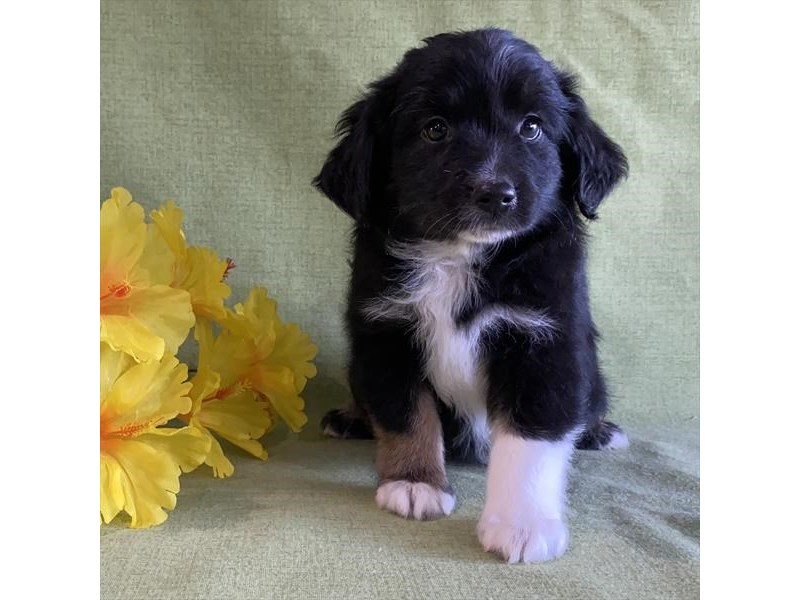 Australian Shepherd-Male-Black / White-2861424-Petland Carriage Place