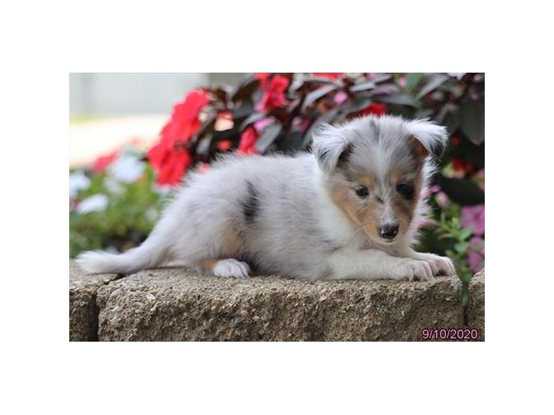 Shetland Sheepdog-Female-Blue Merle-2861425-Petland Carriage Place