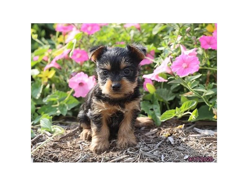 Silky Terrier-Female-Black / Tan-2868786-Petland Carriage Place