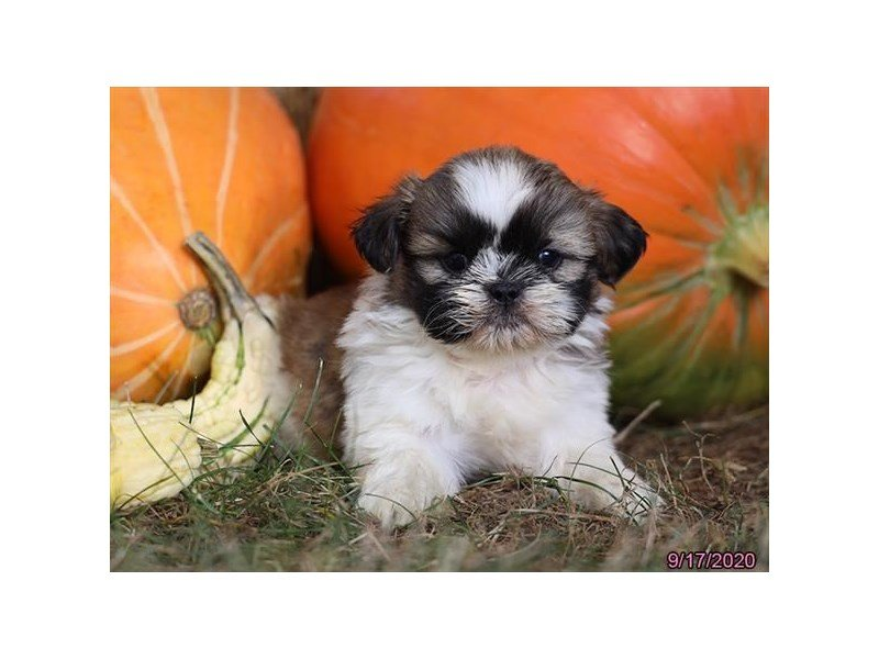 Shih Tzu-Male-Sable / White-2868791-Petland Carriage Place