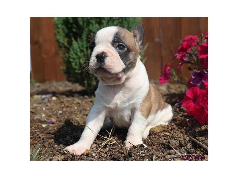 French Bulldog-DOG-Male-Fawn / White-2868793-Petland Carriage Place