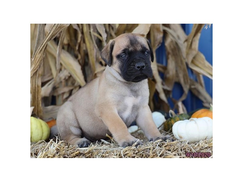 Bullmastiff-Male-Red Fawn-2868827-Petland Carriage Place